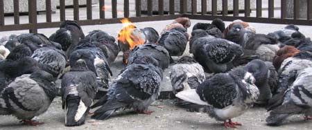 Pigeons keeping warm in Daley Plaza, Chicago