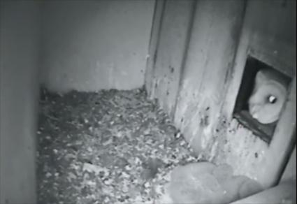 Barn Owl visits Common Kestrel nest box in the Netherlands