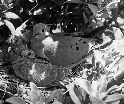 Dove with chicks