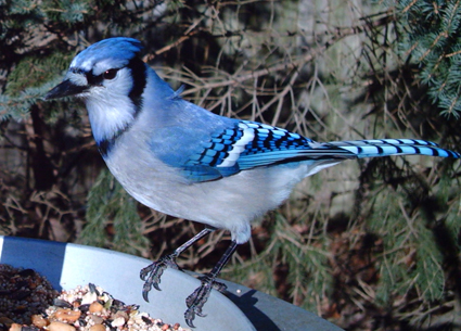 Blue Jay captured by Wingscapes BirdCam