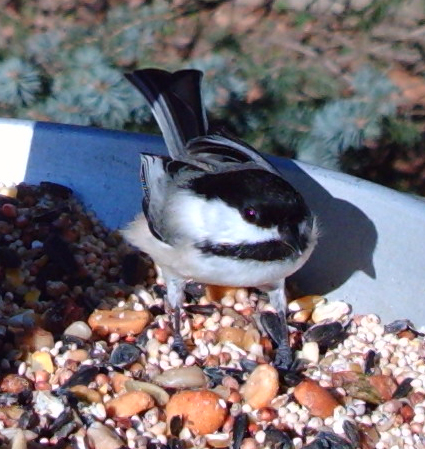 Black-capped Chickadee captured by Wingscapes BirdCam