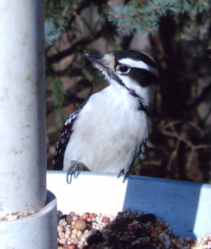 Downy Woodpecker captured by Wingscapes BirdCam