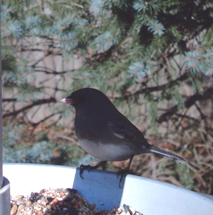 Slate-colored Junco captured by Wingscapes BirdCam
