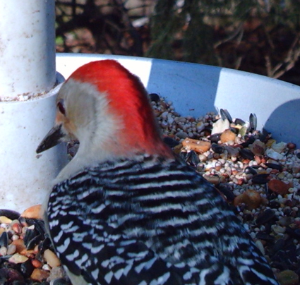 Red-bellied Woodpecker captured by Wingscapes BirdCam