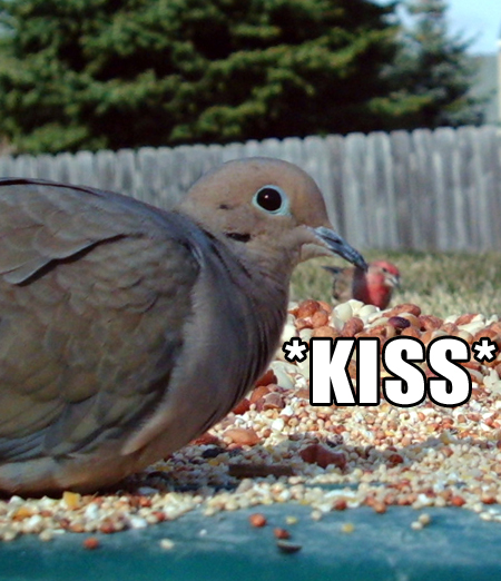dove-finch-kiss-lolbird