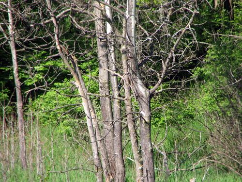 woodpeckers11
