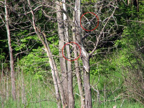 woodpeckers2
