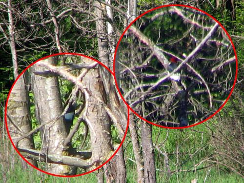 woodpeckers3