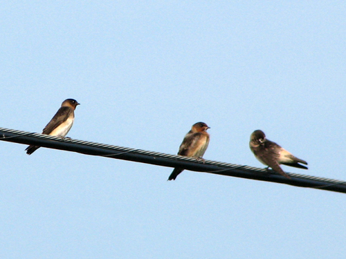 Cliff Swallows