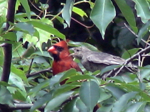 Baby cowbird begging cardinal for food