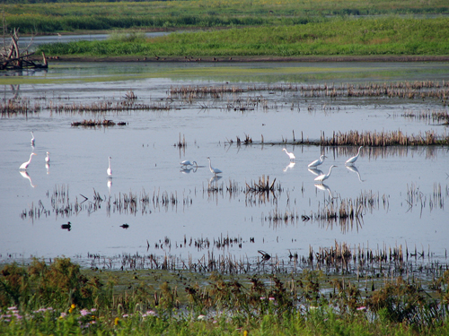 Great Egrets at Rollins Savanna