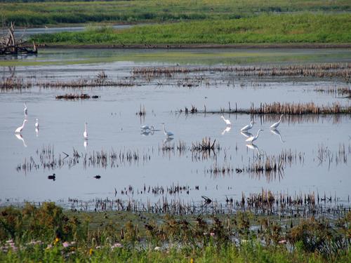 Great Egrets at Rollins Savanna