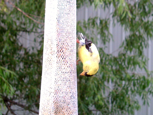 Upside down finch