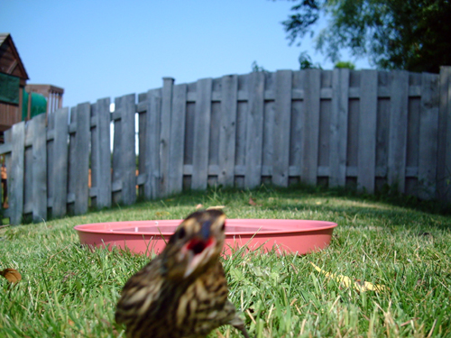 Shocked Red-winged Blackbird
