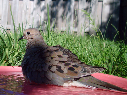 One bathing Mourning Dove
