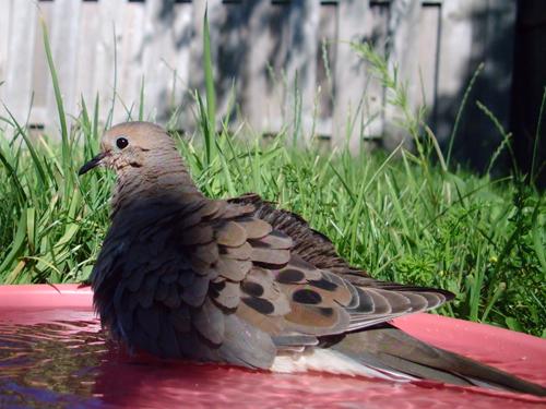 One bathing Mourning Dove