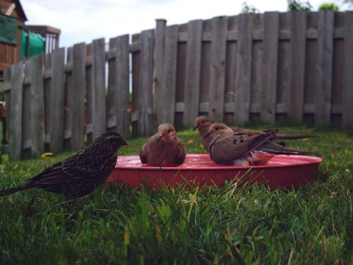 Blackbird breaks up dove orgy