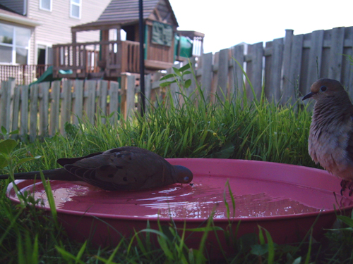 Mourning Dove blowing bubbles