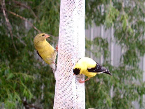 Feeding finches get along