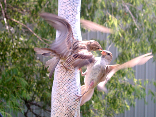 Finch fight!