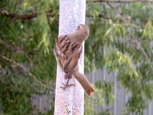 Stretching sparrow