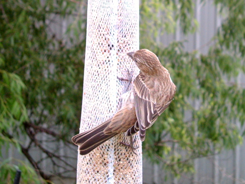 House Finch stretching