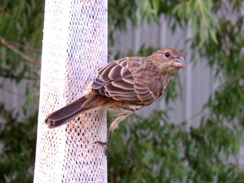Suspicious House Finch