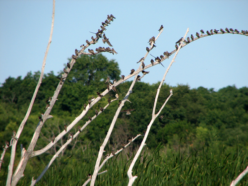 Swallows on a snag