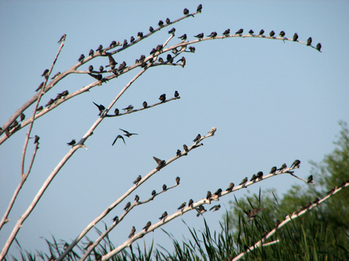 Lots of swallows