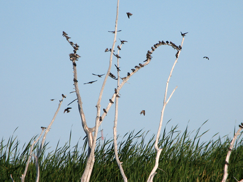 Big bunch of swallows