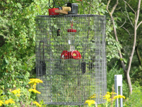 Trapped hummingbird