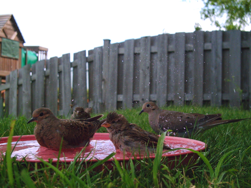 House Sparrows & Mourning Doves bathing