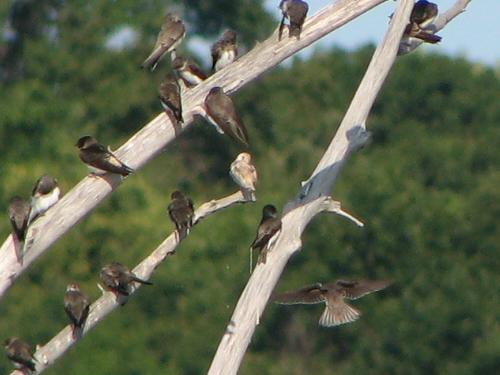 Leucistic Tree Swallow?