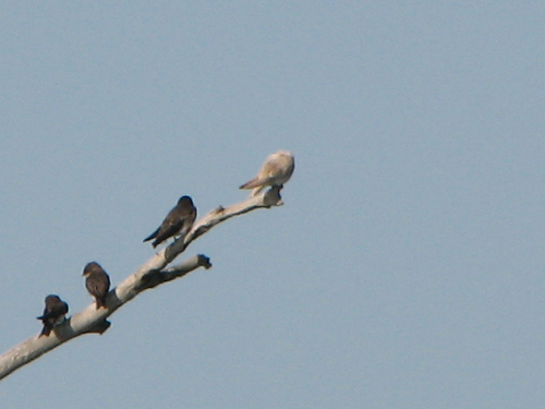 Leucistic Tree Swallow on snag
