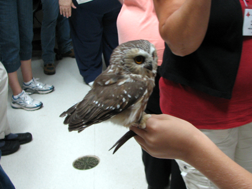 Boopie the Northern Saw-whet Owl