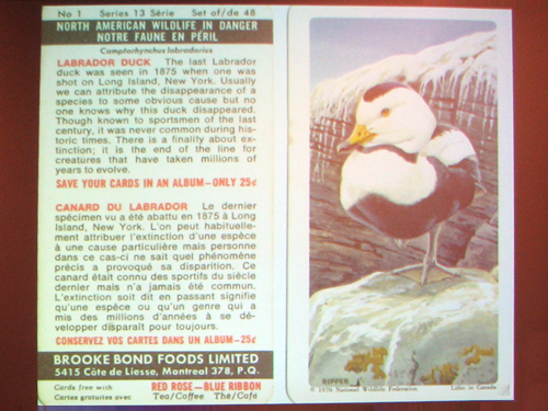 Labrador Duck trading card