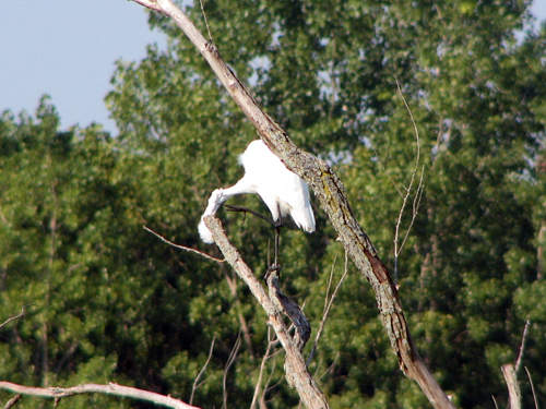 Great Egret with an itch