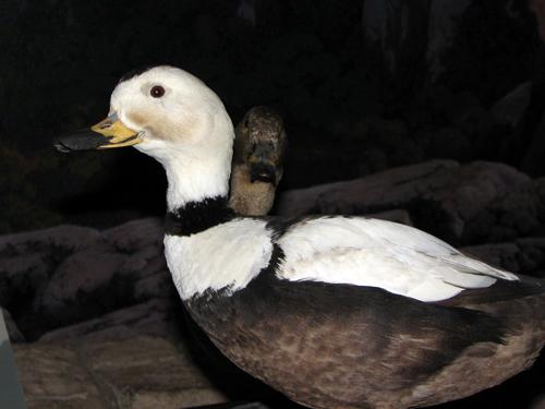 Labrador Ducks