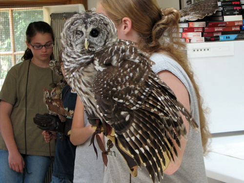 Griffin the Barred Owl