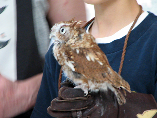 Hubie the Eastern Screech Owl
