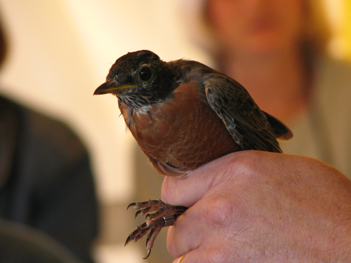 American Robin in the hand
