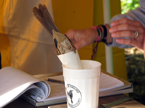 Brown Thrasher being weighed