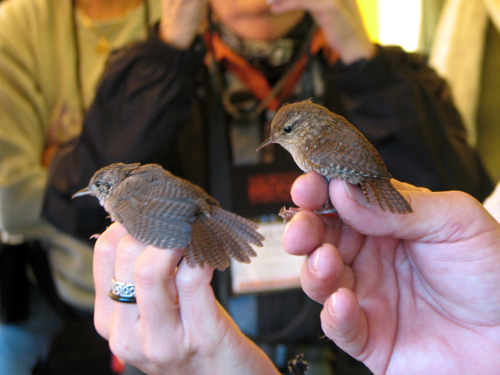 Two wrens