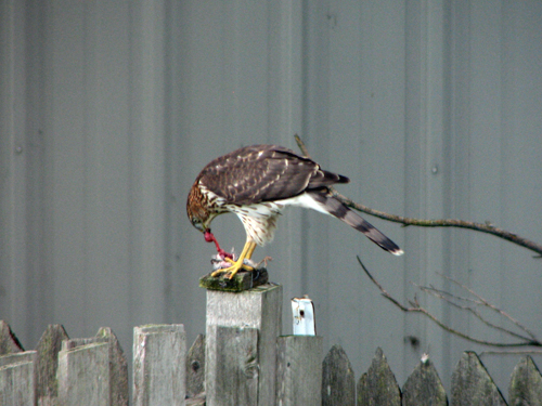 Cooper's Hakw eating a House Sparrow