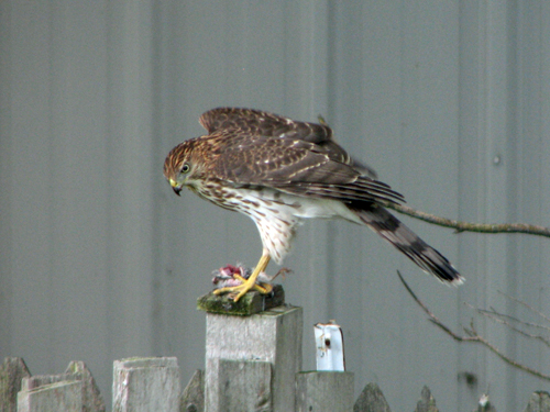 Cooper's Hawk eating prey