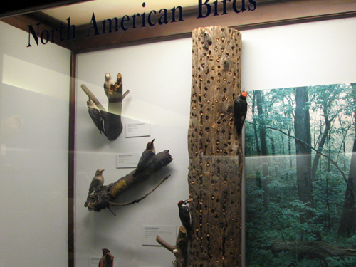 Woodpecker display case