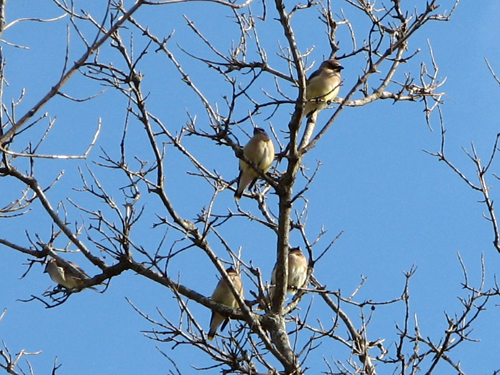 More Waxwings