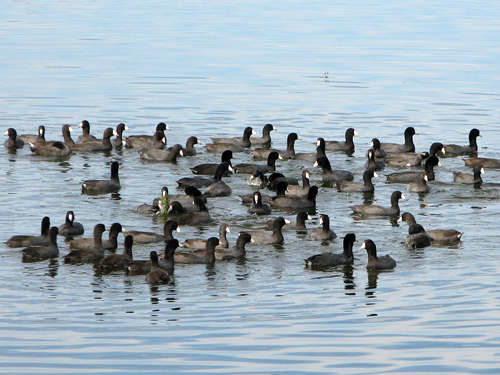 Raft of American Coots