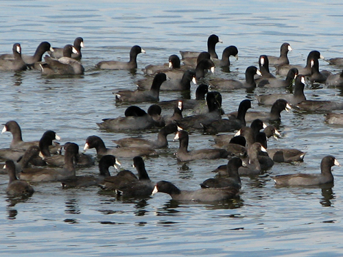 Tight Raft of American Coots