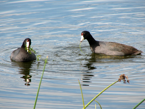 Pair of American Coots